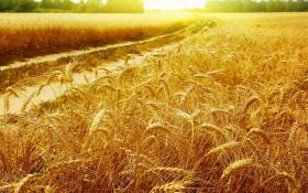 ИКАР: урожай зерна в